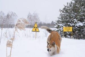 streundender Hund in Tschernobyl