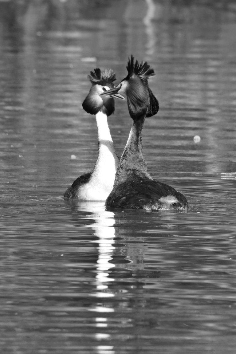 Frischverliebte Haubentaucher auf einem See