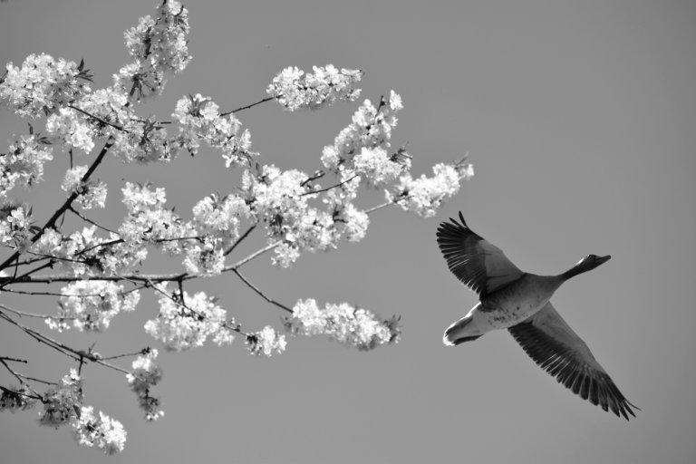 Fliegende Wildgans an einem blauen Himmel