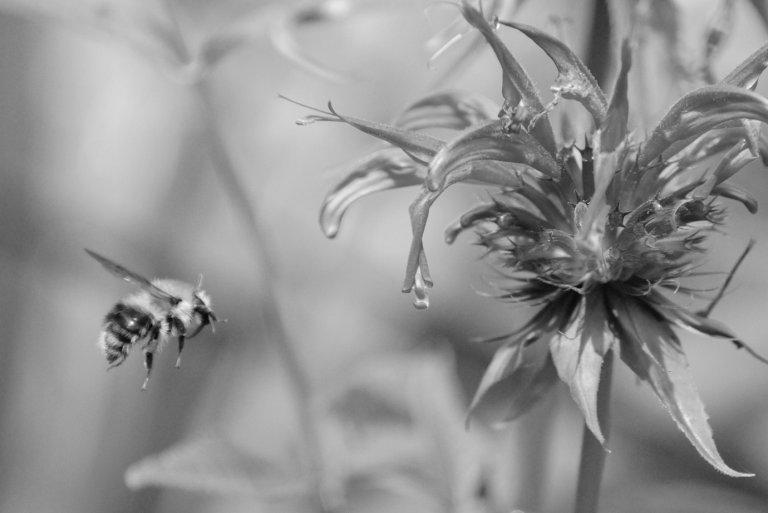 Hummel fliegt auf eine Blüte