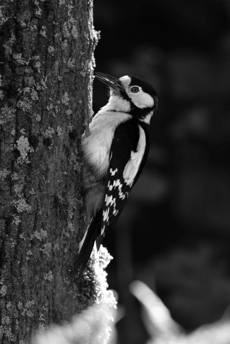 Buntspecht an einem Baumstamm