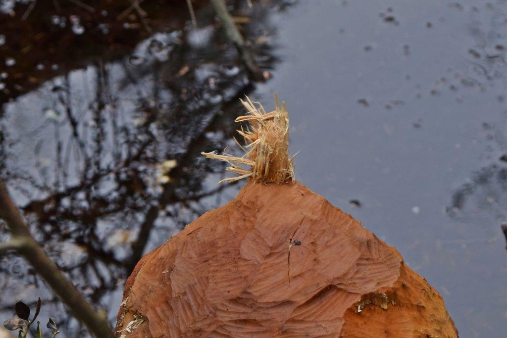 Biber im Tyresta Nationalpark Schweden